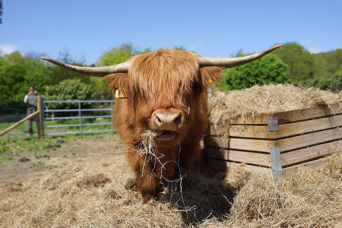 Clarissa the highland cow