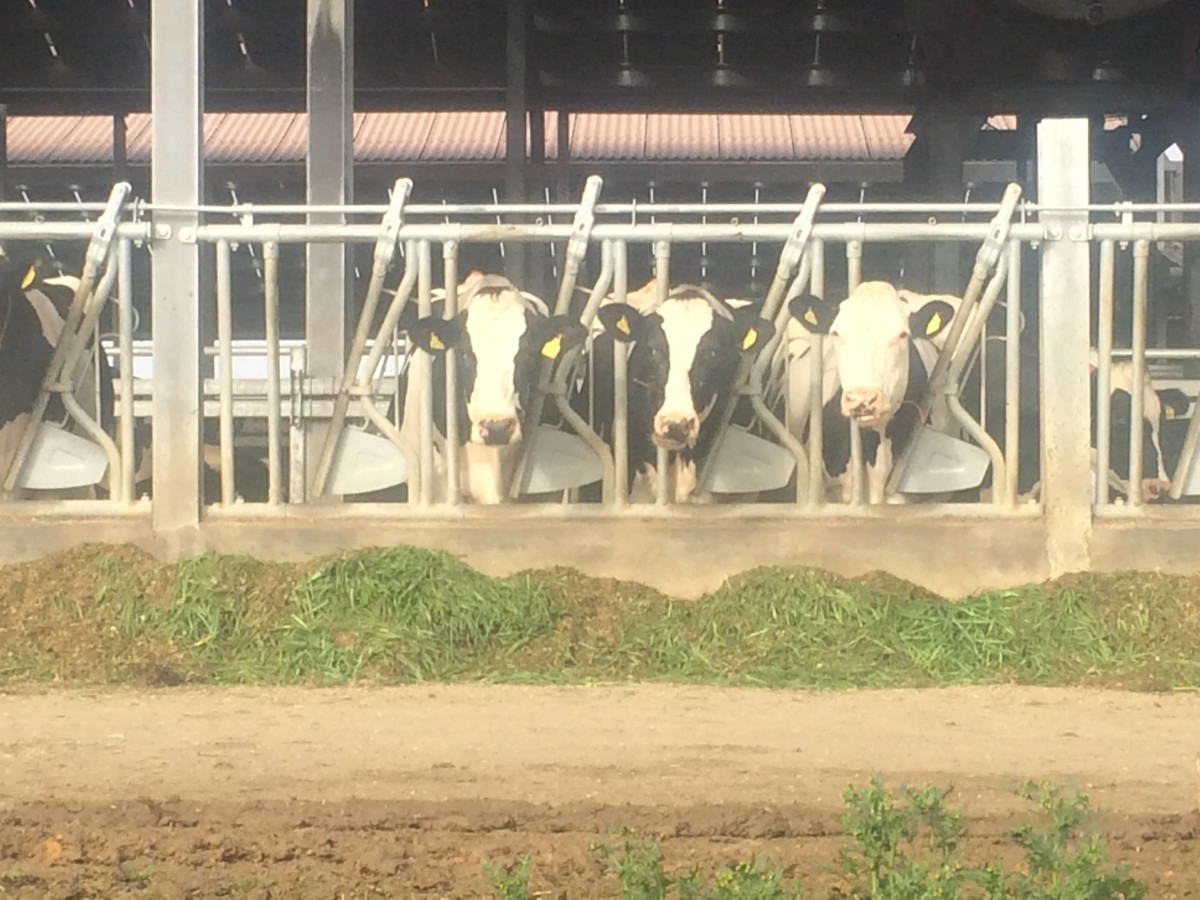 Cows in some intensive dairy units are housed indoors year-round.