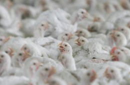 chicken farms risk workers health
