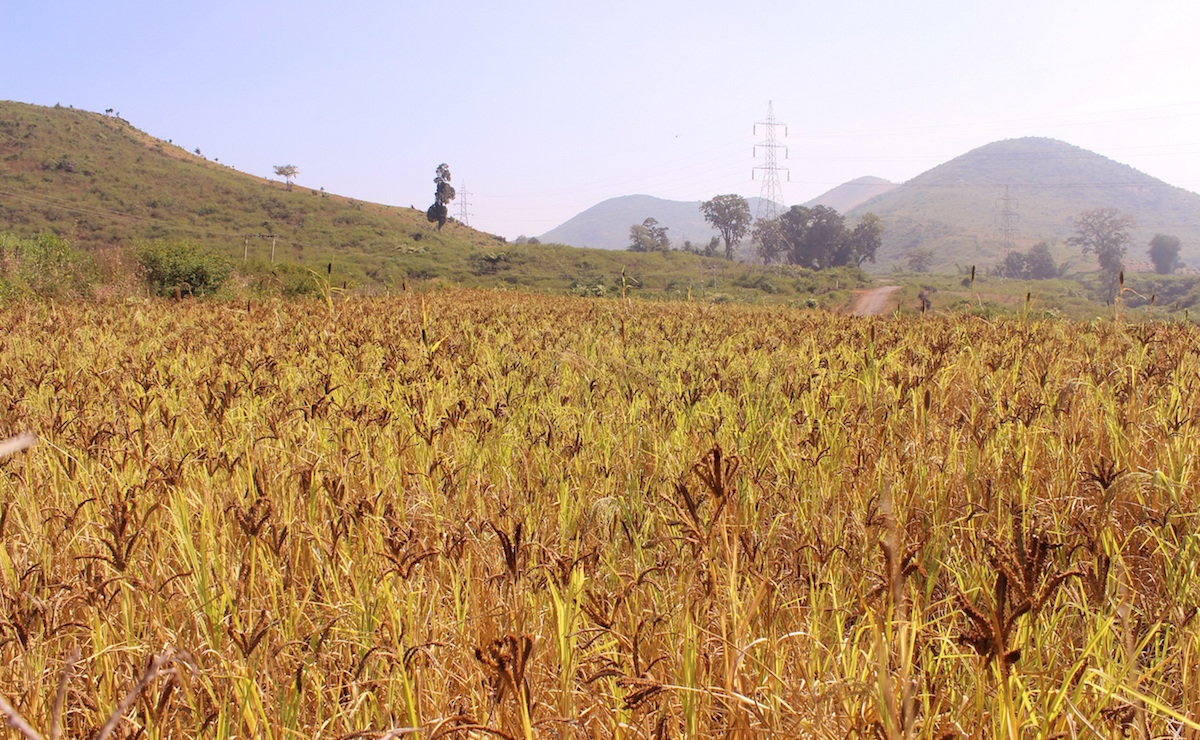 Mixed-cropping of finger, kodo, and pearl millets